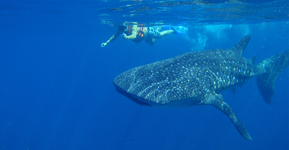 Central-America-Mexico-Whale-Sharks-5-underwater