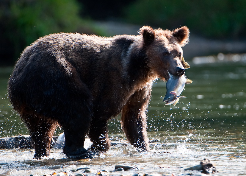 Grizzly with fresh fish photo Nick Garbutt